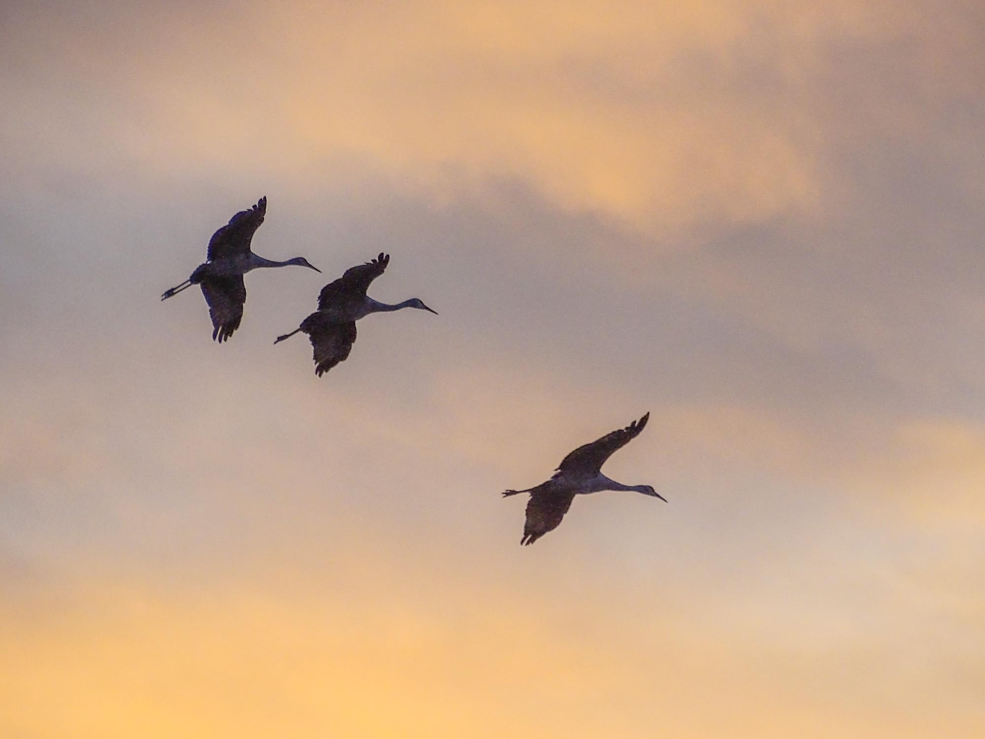 Sandhill Cranes. Bosque del Apache NWR