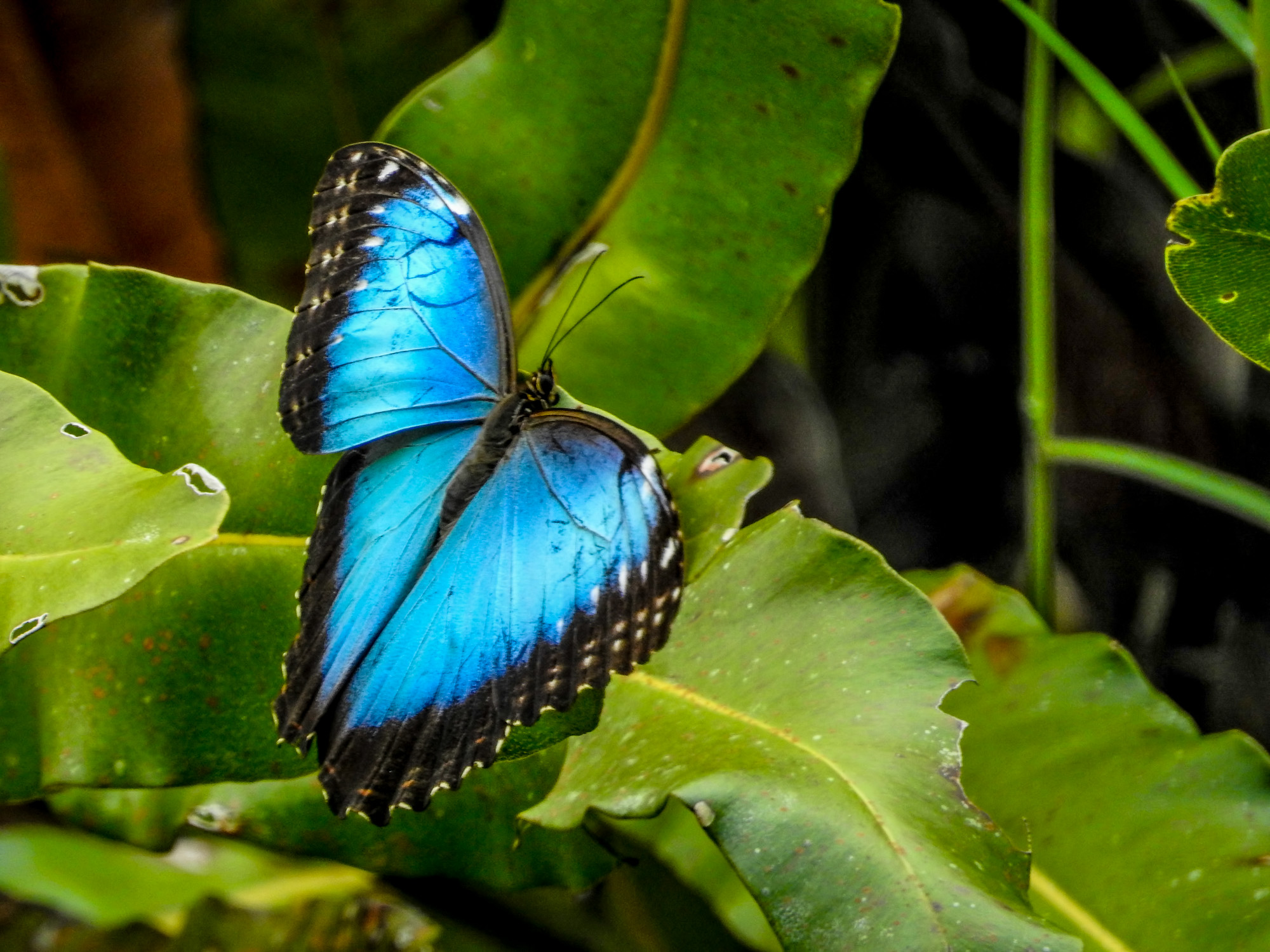Blue Morpho Butterfly, Bocas del Toro, Panama. Tranquilo Bay Lodge excursion