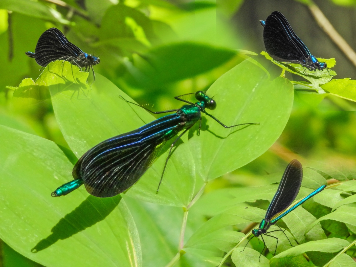 Ebony Jewelwings, Batson River rapids, Emmons Preserve, Kennebunkport ME