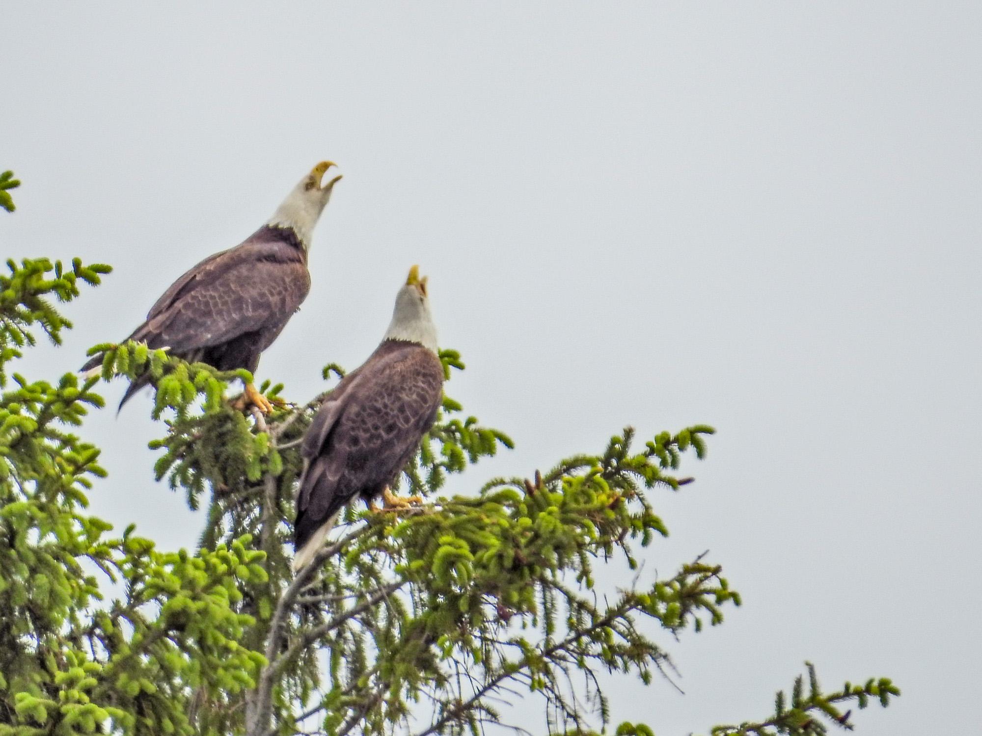 Bald Eagles, Back Creek/Mousam River, Kennebunk ME