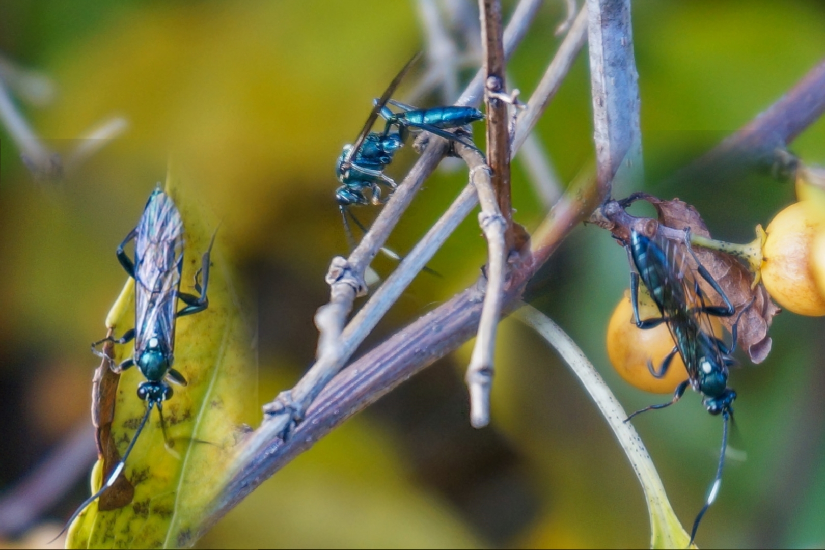 Blue-green Cricket Hunter Wasp, Laudholm Farms, Wells ME