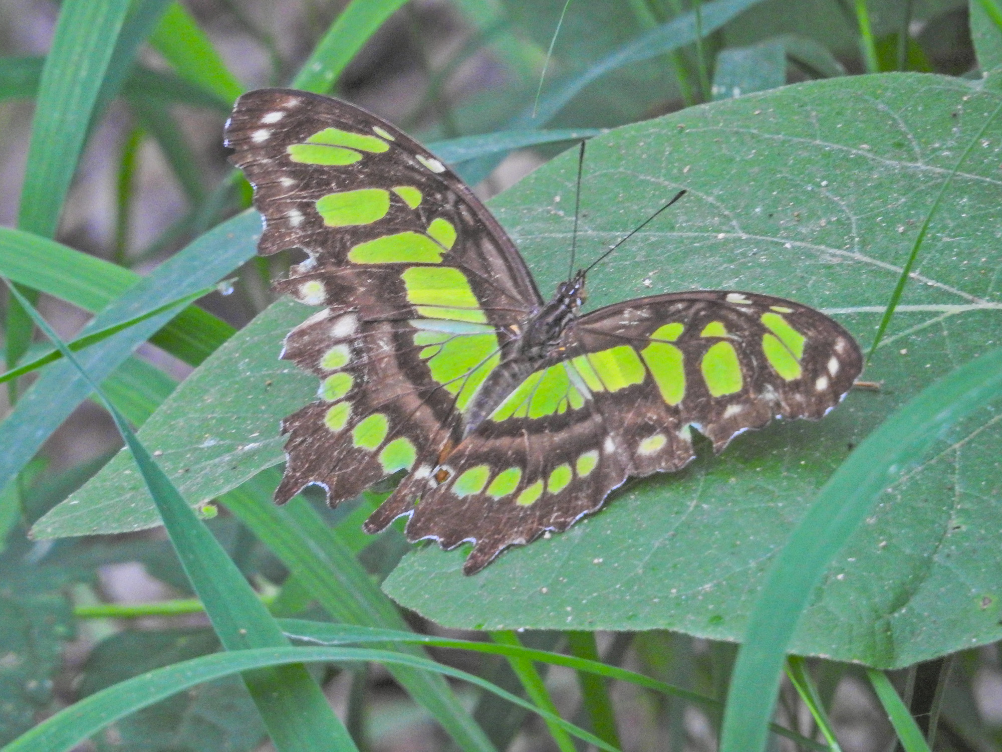 Green Malachite, National Butterfly Center, Mission TX