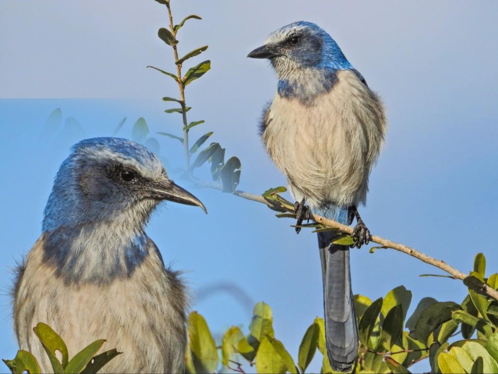 Florida Scrub Jay, Merritt Island NWR, Titusville FL