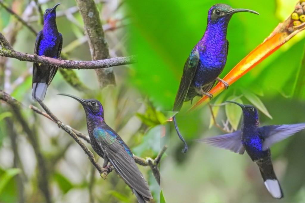 Violet Saberwing. Rio Santiago Nature Lodge, Honduras