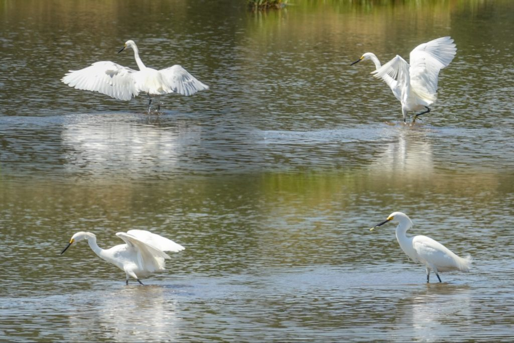 Snowy Egret fishing. Lower Mousam River marsh, Kennebunk Maine