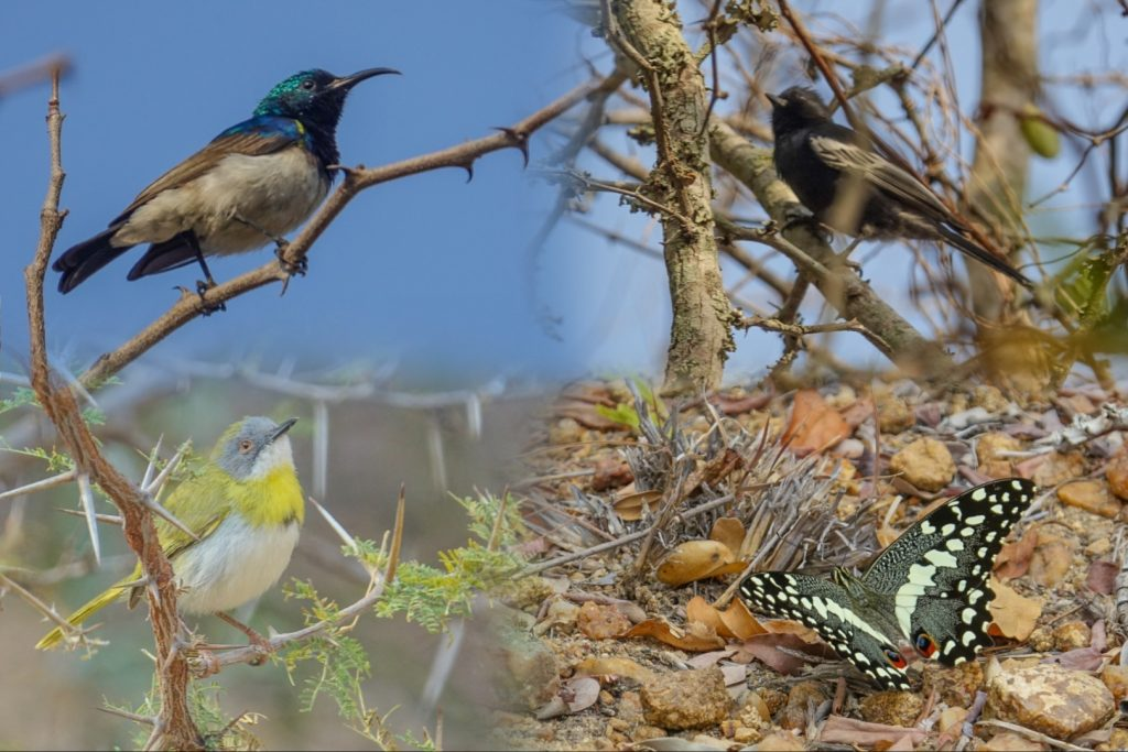 White-bellied Sunbird, Black Tit, Yellow-breasted Apalis, Citrus Swallowtail, Marc's Treeehouse Lodge, South Africa