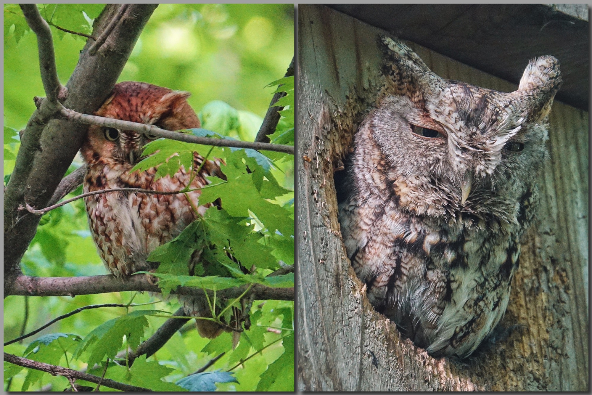 e330aaf8611 Eastern Screech Owl – Pic for Today