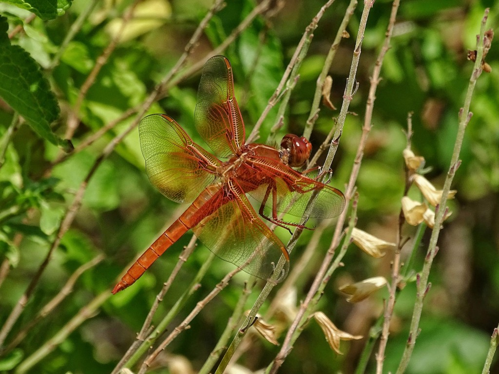 Flame Skimmer: wildlife certainly includes dragonflies!