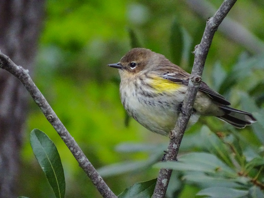Yellow=rumped Warbler, Cape May NJ, ISO 1600.