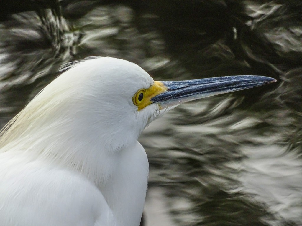 Snowy Egret, Shark Valley, Everglades NP