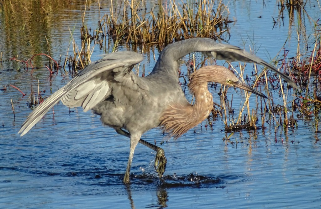 Reddish Egret, Blackpoint Wildlife Drive, Merritt Island NWR, FL