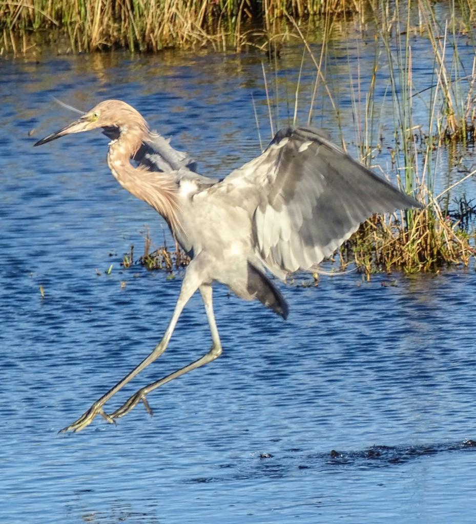 Mid-hop. Reddish Egret. Blackpoint Wildlife Drive, Merritt Island NWR, FL