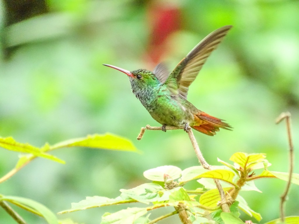 Rufous-tailed Hummingbird, Rio Santiago, Lodge at Pico Bonito, Honduras