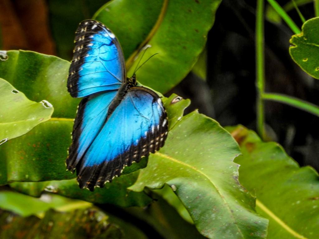 Blue Morpho, Snyder Canal, Changuinola Panama