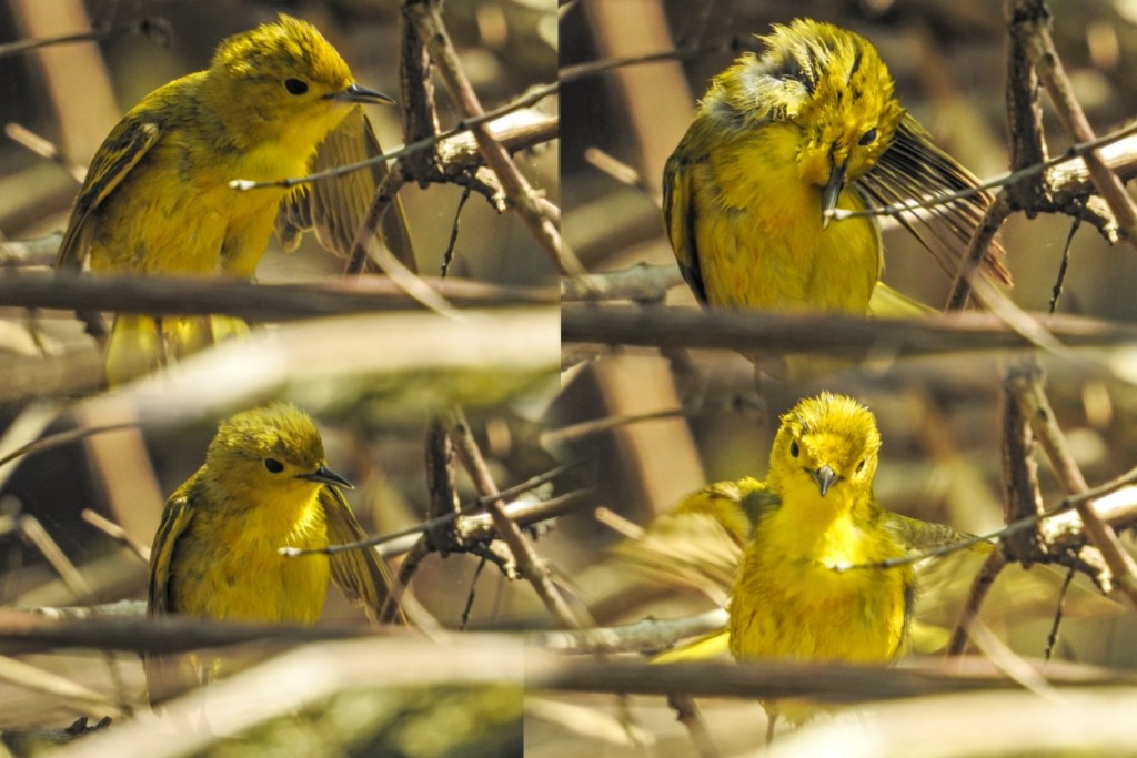 A panel of continuous shots of a Yellow Warbler bathing.