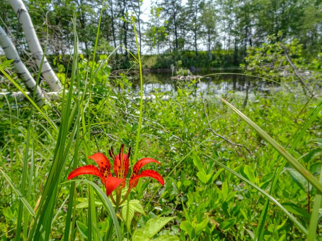 Wood Lily landscape.