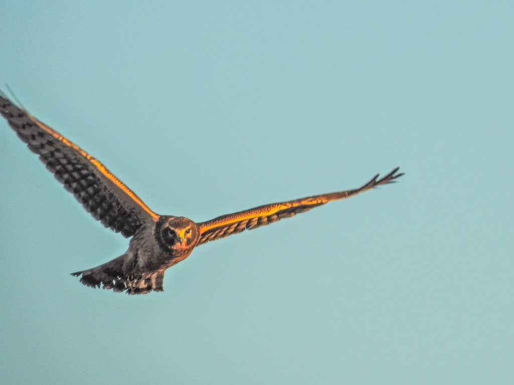 Northern Harrier. Focus on birds coming head on is the most difficult of all.