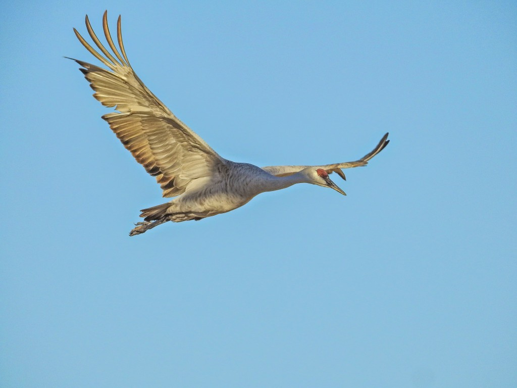 Sandhill Crane, Bosque del Apache NWR. Custom BIF mode. 1/640th @ ISO 100 @ f7.1. 1200mm equivalent.